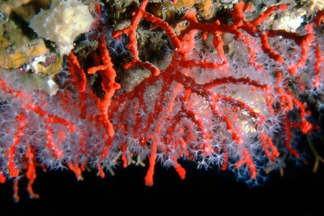 """""""Amics de les Illes Formigues"""" i la defensa del corall vermell en perill d'extinció"""